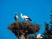 Красивые белые аисты в гнезде на backgroung голубого неба, sprin Стоковые Изображения