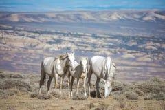 Красивые белые дикие лошади Стоковая Фотография