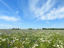 Красивые белые и голубые цветки в поле, Литве Стоковое фото RF