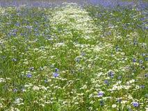 Красивые белые и голубые цветки в поле, Литве Стоковые Фото