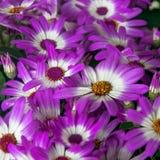 Красивые белые и пурпурные цветки Cineraria в саде стоковая фотография