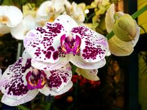 Красивые белые и розовые орхидеи стоковые фото