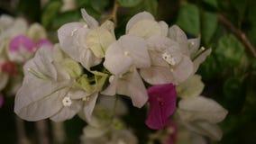 Красивые белые и розовые цветки стоковое изображение rf