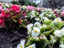 Красивые белые красные цветки в саде в городе Стоковое Изображение RF