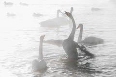 Красивые белые лебеди выкрикивать Стоковое фото RF