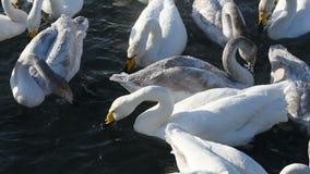 Красивые белые лебеди выкрикивать сток-видео