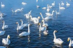 Красивые белые лебеди выкрикивать Стоковая Фотография RF
