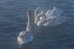 Красивые белые лебеди выкрикивать Стоковые Фото