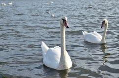 Красивые белые лебеди плавая Стоковое фото RF
