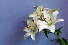 Красивые белые лилии на сине-фиолетовой предпосылке стоковое фото rf
