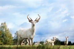 Красивые белые олени стоя на поле Стоковые Изображения RF