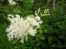 Красивые белые полевые цветки в луге, Литве Стоковые Изображения