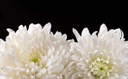 Красивые белые хризантемы изолированные на черной предпосылке Стоковое Фото