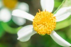 Красивые белые цветки ромашника Стоковое Изображение RF