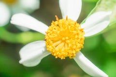 Красивые белые цветки ромашника Стоковые Изображения