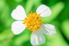 Красивые белые цветки ромашника Стоковое Фото