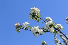 Красивые белые цветки яблока и голубого неба стоковое фото