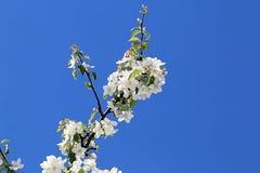 Красивые белые цветки яблока и голубого неба стоковая фотография