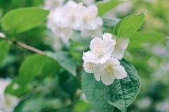 Красивые белые цветки яблока на предпосылке листьев Стоковое фото RF