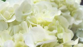 Красивые белые гортензии Стоковые Фотографии RF