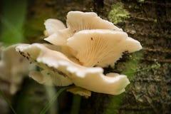 Красивые белые грибы растя на коре дерева в лете Стоковые Фото