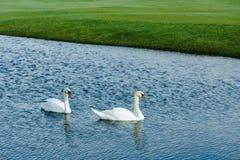 Красивые белые лебеди плавая в пруде на дневном времени Стоковые Изображения