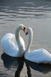 Красивые белые лебеди стоковое фото