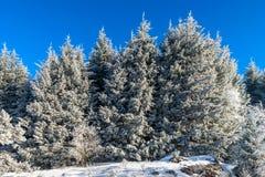 Красивые белые, который замерли деревья на предпосылке голубого неба рисуночно стоковое фото rf