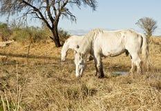 Красивые белые лошади пася Стоковое Фото