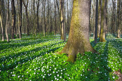 Красивые белые первоцветы Стоковое Изображение