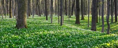 Красивые белые первоцветы Стоковое Фото