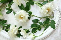 Красивые белые розы, винтажные рамки и предпосылка бархата Стоковые Фотографии RF
