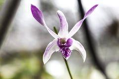 Красивые белые фиолетовые разнообразия Cattleya цветка орхидеи на ветви в саде орхидей закрывают вверх Стоковое Изображение