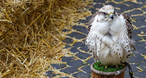 Красивые белые хищные птицы Стоковое Изображение