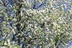 Красивые белые цветения яблока и зеленая яблоня выходят в сад яблока в солнечной погоде весной Стоковые Изображения RF