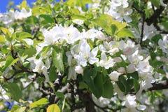 Красивые белые цветения яблока и зеленая яблоня выходят в сад яблока в солнечной погоде весной Стоковое фото RF