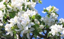 Красивые белые цветения яблока и зеленая яблоня выходят в сад яблока в солнечной погоде весной Стоковое Изображение