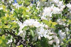 Красивые белые цветения яблока и зеленая яблоня выходят в сад яблока в солнечной погоде весной Стоковые Фотографии RF