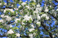 Красивые белые цветения яблока и зеленая яблоня выходят в сад яблока в солнечной погоде весной Стоковое Изображение RF