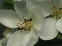 Красивые белые цветения Яблока Макрос Стоковая Фотография RF