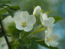 Красивые белые цветения Яблока Стоковое Фото