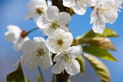 Красивые белые цветки весной Стоковые Изображения