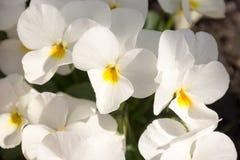 Красивые белые цветки весной стоковое фото rf