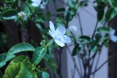 Красивые белые цветки в саде outdoors Стоковая Фотография