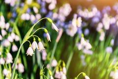 Красивые белые цветки snowdrop, крупный план Стоковые Фото
