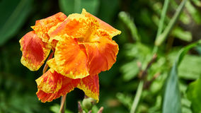 Красивые большие оранжевые цветки Стоковая Фотография