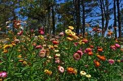 Красивые бумажные цветки маргаритки в парке Стоковое Фото