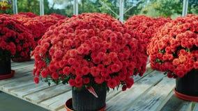 Красивые бургундские хризантемы в баках Большой счетчик в питомнике цветка Продажа цветков Стоковое Изображение RF