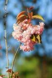 Красивые ветви вишневые цвета плотно Много чувствительное розовое che Стоковые Фото
