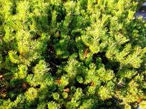Красивые ветви сосны Стоковая Фотография